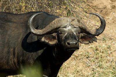 Buffalo, Krugerpark.