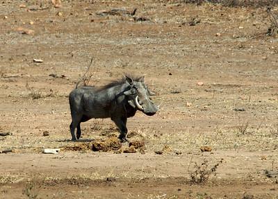 The warthog.