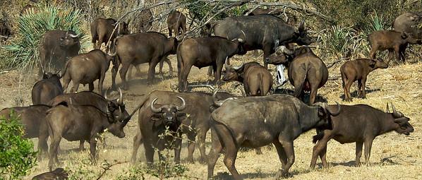 Buffalos, Krugerpark.