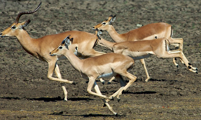 Impalas on the run for a couple of lions.