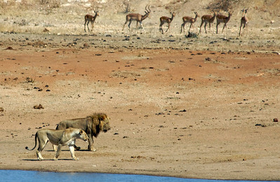Lions and Impalas.