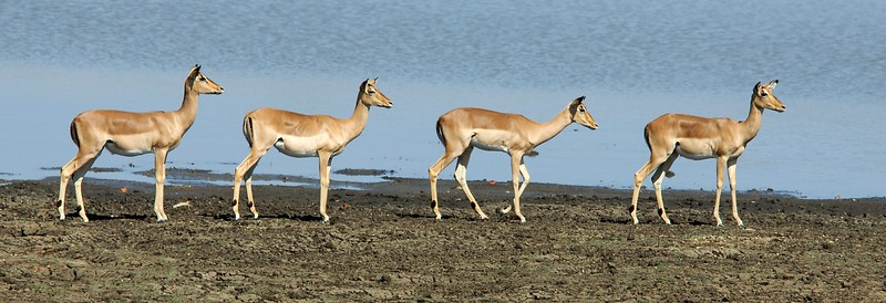 Impalas coming to the watering hole.