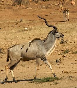 The Kudu.