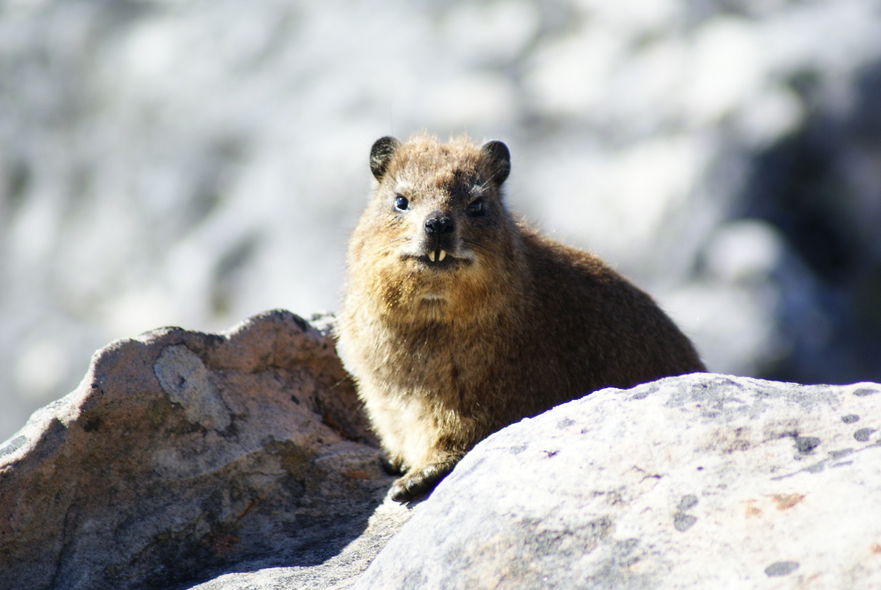 That's a dassie, a hilarious mountain critter the size of a gopher and most closely related to an elephant.
