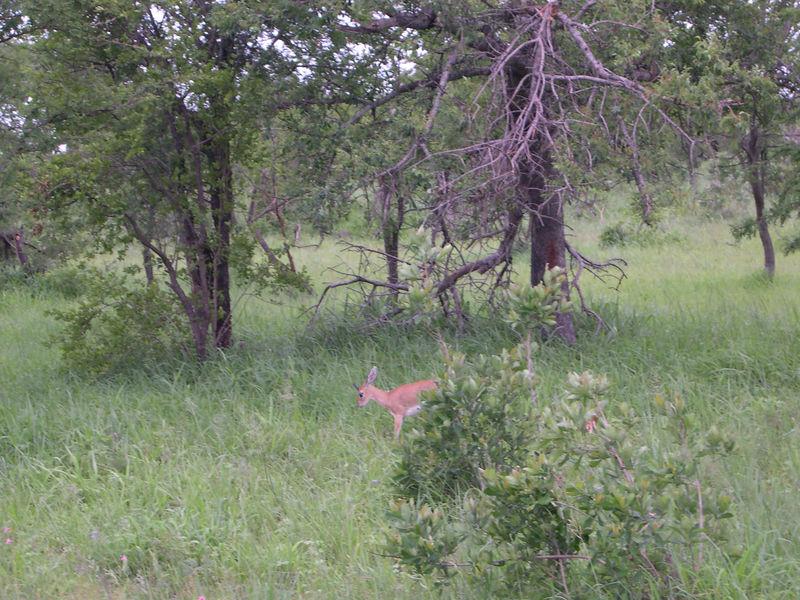 A litle steenbok, a quite rare sight.