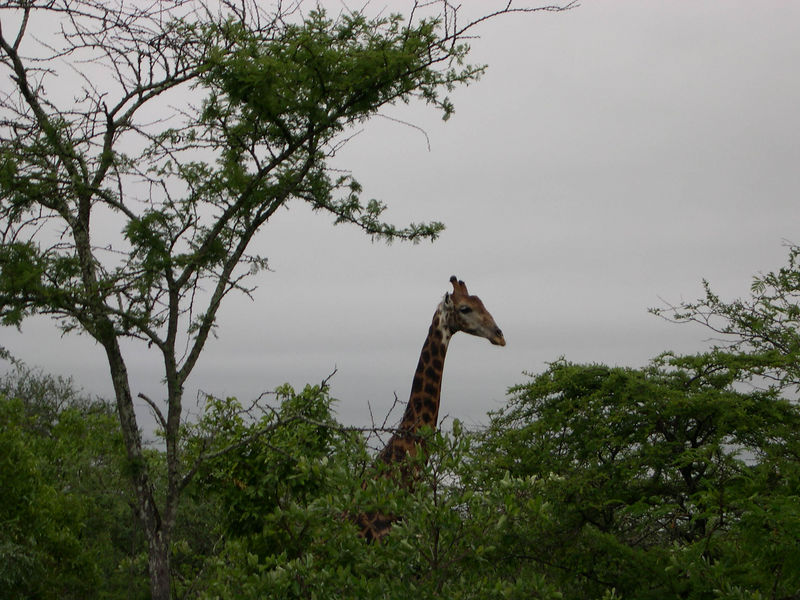 A giraffe over the forest canopy.
