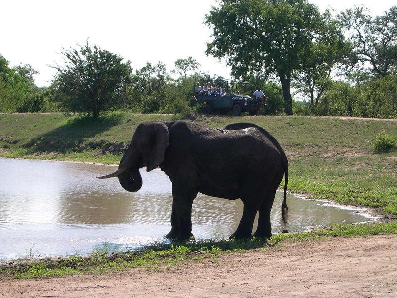 An elephant taking a drink from the waterhole.