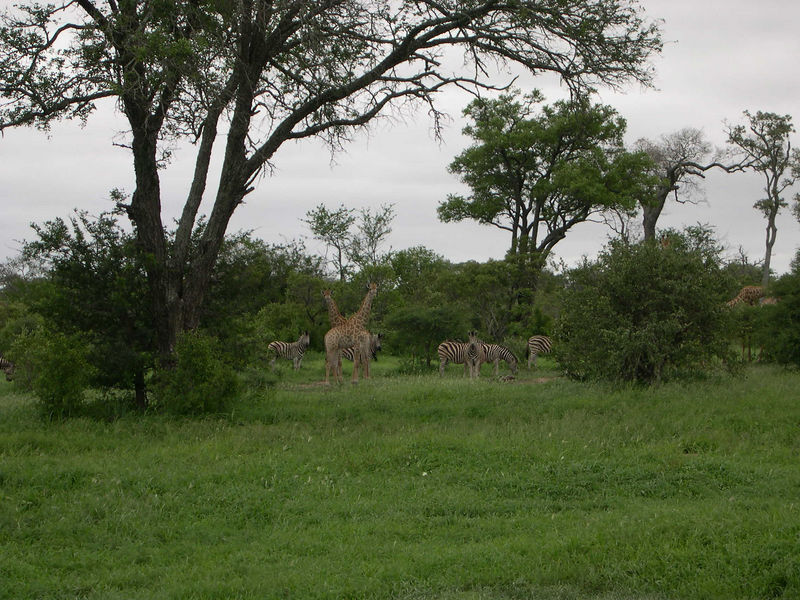 Another view of the giraffes with their friends, the zebras.