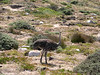 A wild ostrich at Cape Peninsula National Park.