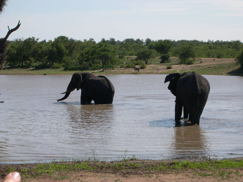 Two elephants went swimming while we watched.  They chased away a hippo, who watched them closely.