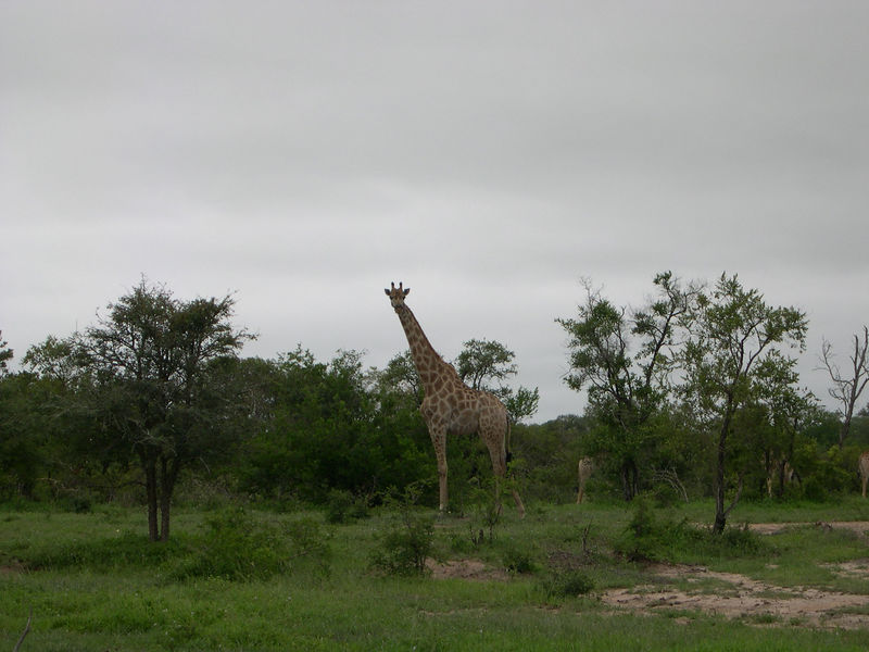 Giraffes are truly large and impressive animals.