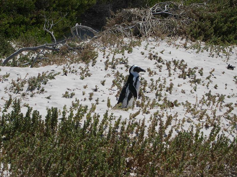An African penguin walking on the beach.