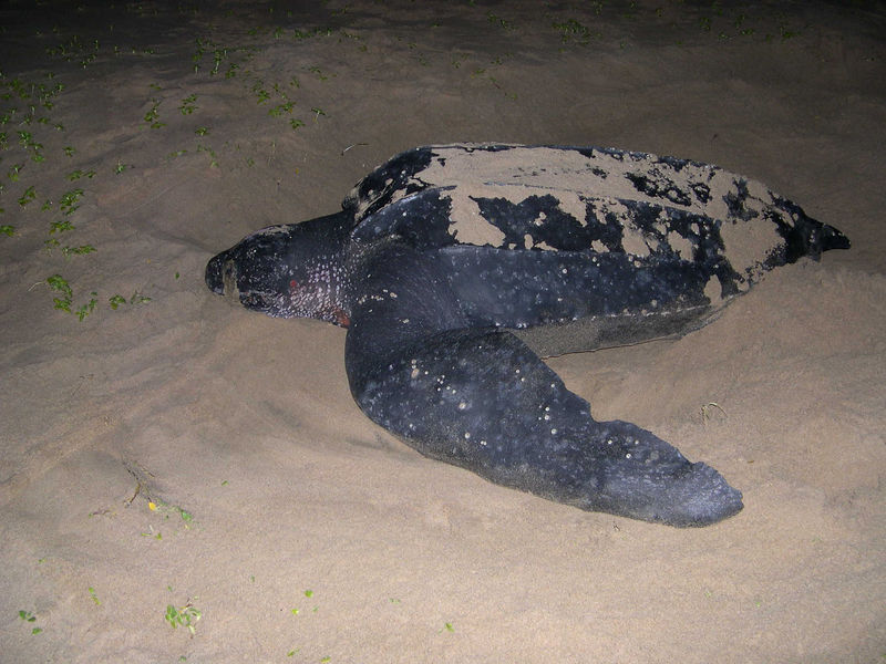 The mother loggerhead turtle throwing sand around her nest to disguise where the eggs are buried.