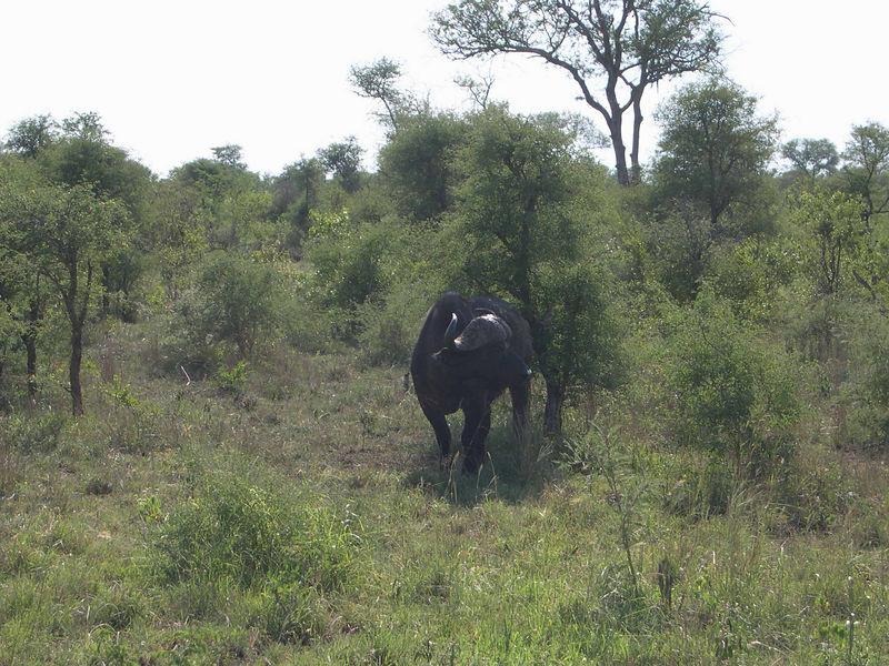 A buffalo marking its scent on a bush.