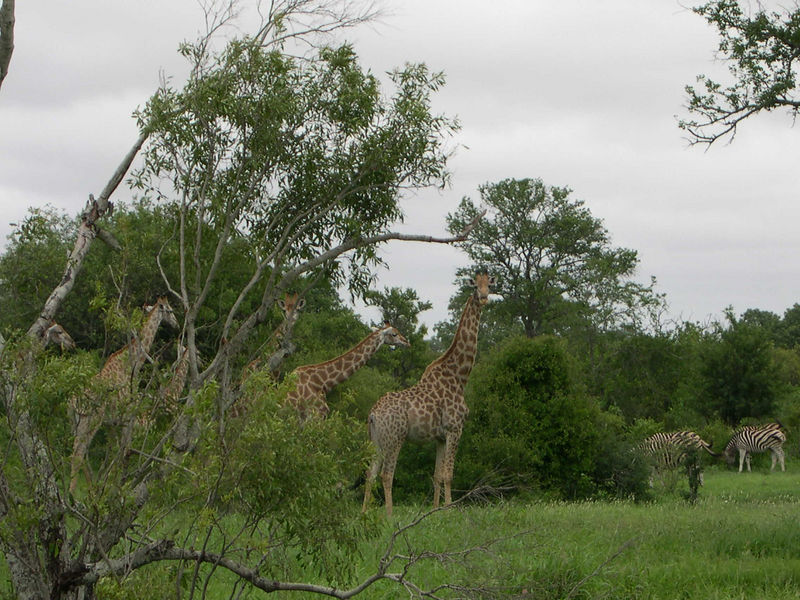 Here is what we saw.  Giraffes traveling with a herd of zebra.