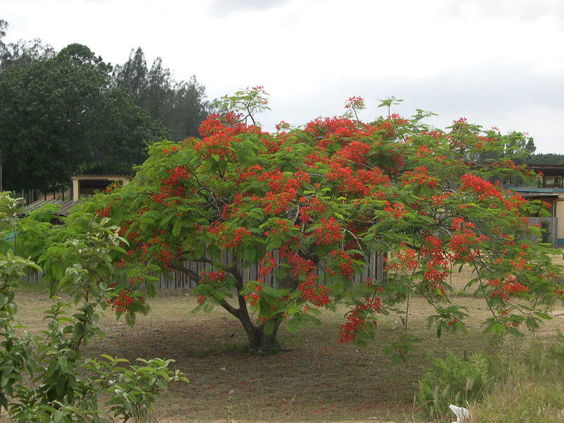 A flame tree in bloom near a cashew nut plantation at Rocktail Bay.