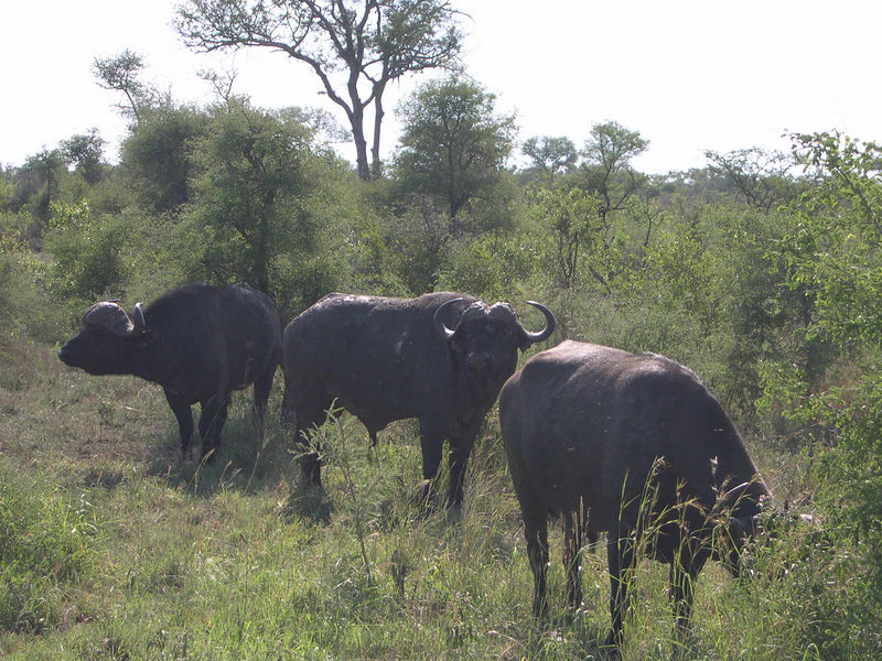 A herd of cape buffalo, considered one of the most dangerous animals in the wild.