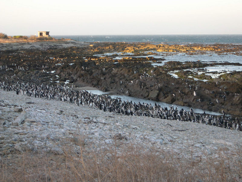 The colony of African penguins on Robben Island.