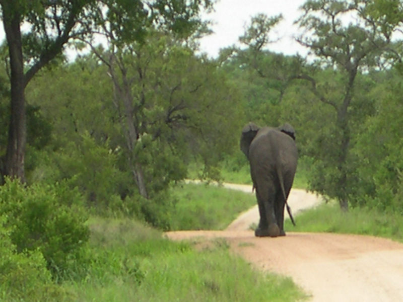 We met this male elephant on the road.  He was in musth, meaning that he was in a bad mood and looking for a mate.  He flapped his ears and chased us for a few steps, but when Jason backed up the landrover, the elephant gave up and walked away, having shown us that he was the boss.