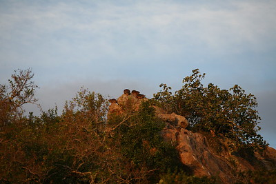 Rock hyrax, or dassies