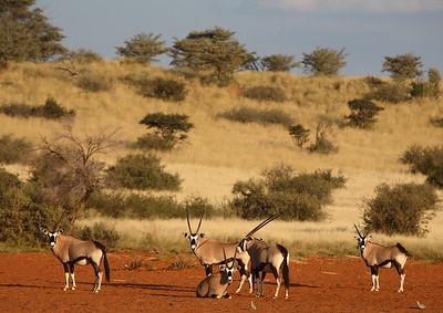Oryx / Gemsbok