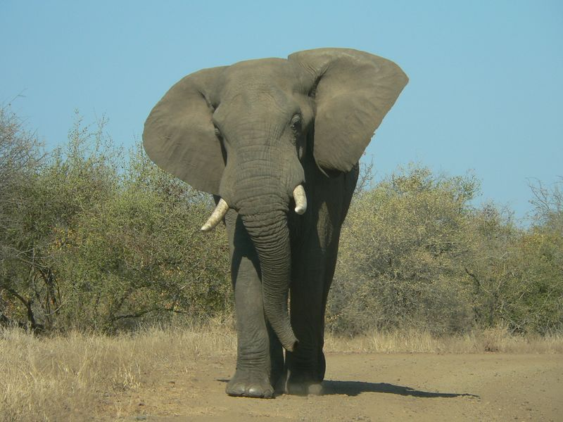 We're outta here! This elephant gave us a good scare. They can run up to 65Km/Hr! And he was barreling right at us!