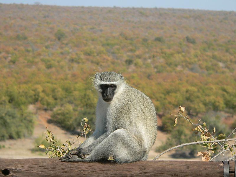 Vervet Monkey (the decoy)