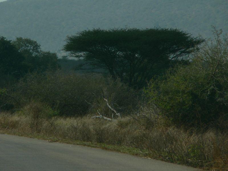 Acacia tree. Giraffe love these!