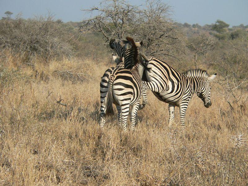 Frolicking zebras