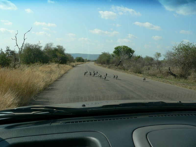 Surrounded by Guinea Fowl