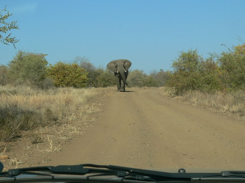 Here's the angry elephant that charged us.