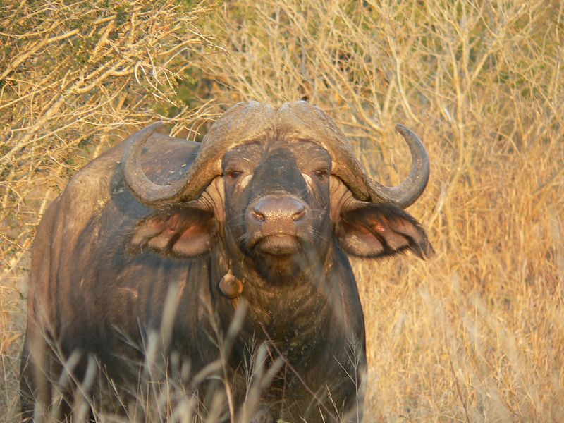 Water Buffalo looking like an ad for Swiss Miss Cocoa