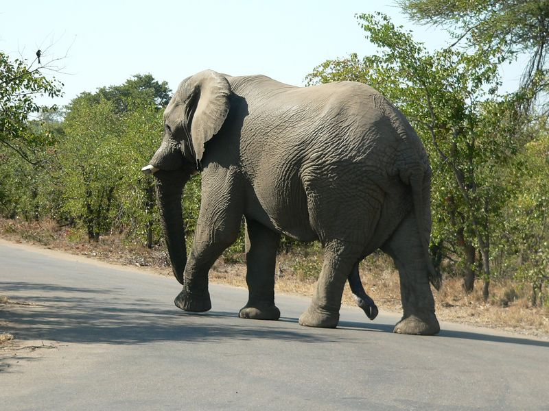 Five-legged Elephant