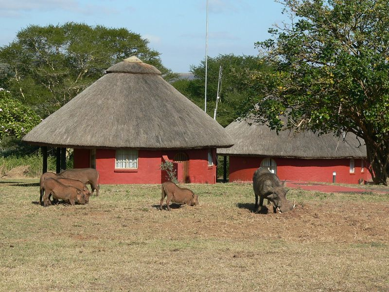 Warthogs outside our hut.