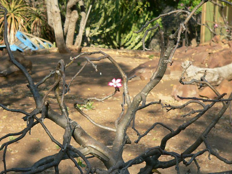 Diamond in the rough? Flower on the seemingly dead shrub.