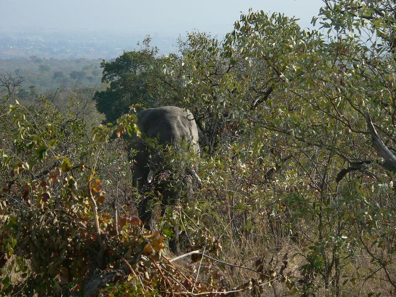 June 12, 2005. We drive into Kruger national Park in Mpumalanga province, and we don't go 1 kilometer before we encounter this elephant.