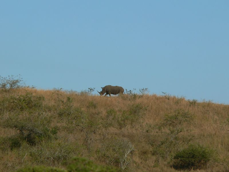 Rhino on the hill