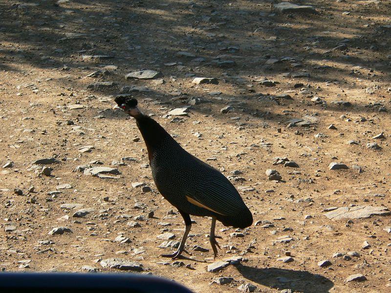 Crested Guinea Fowl