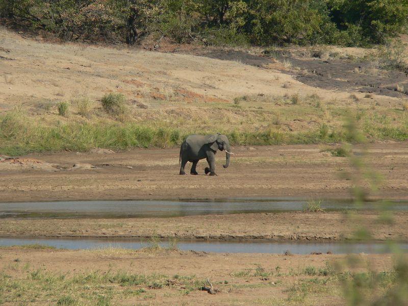 Lone elephant.