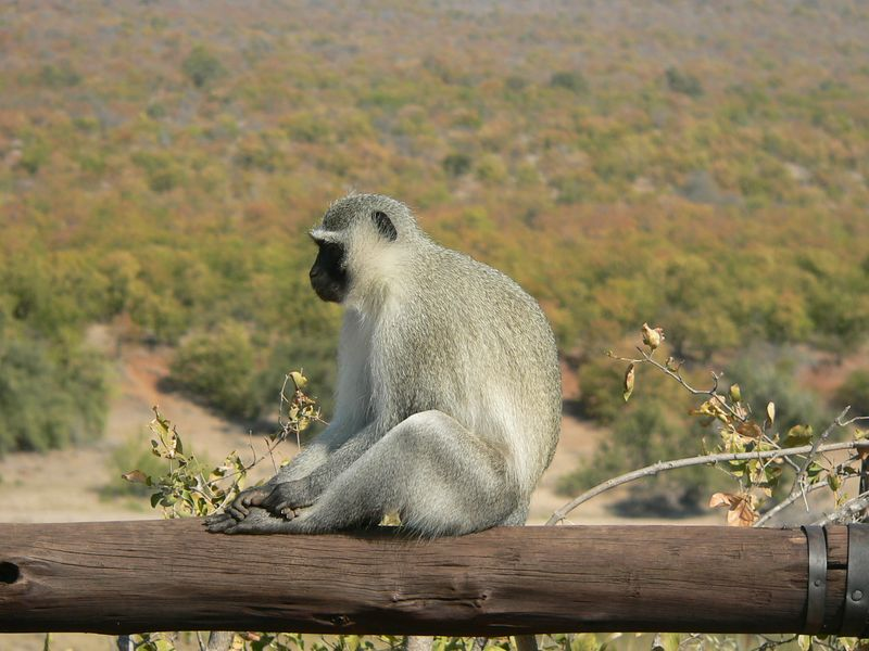 Vervet monkey. See the Kruger National Park section to get the story on this guy!