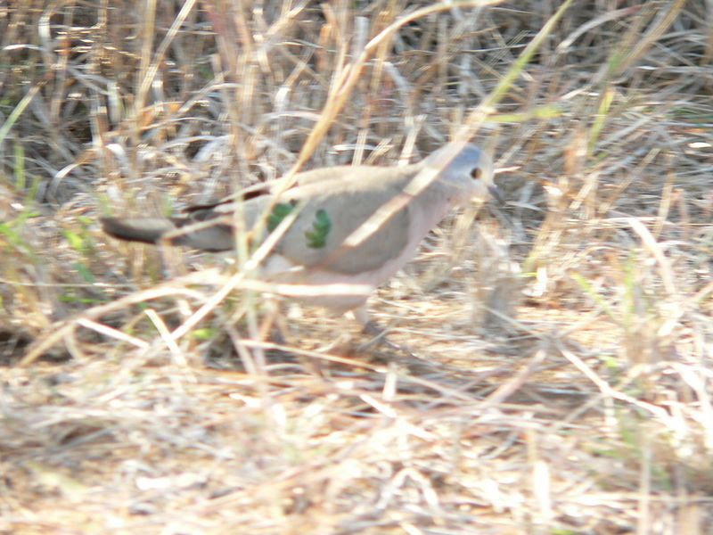 Green-spotted Dove on the side of the road.