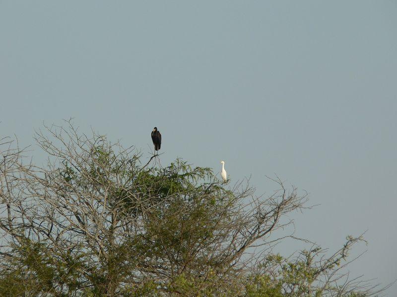 birds atop an Acacia tree.