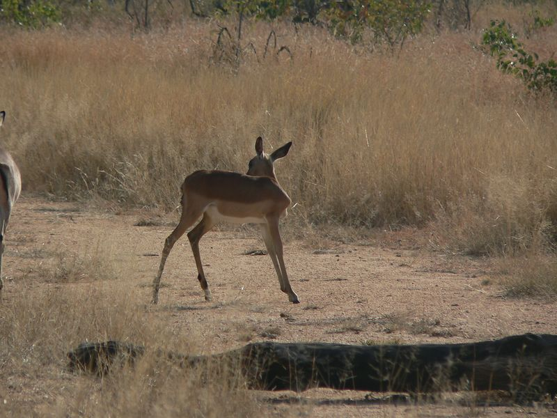 Impala were numerous in the park.