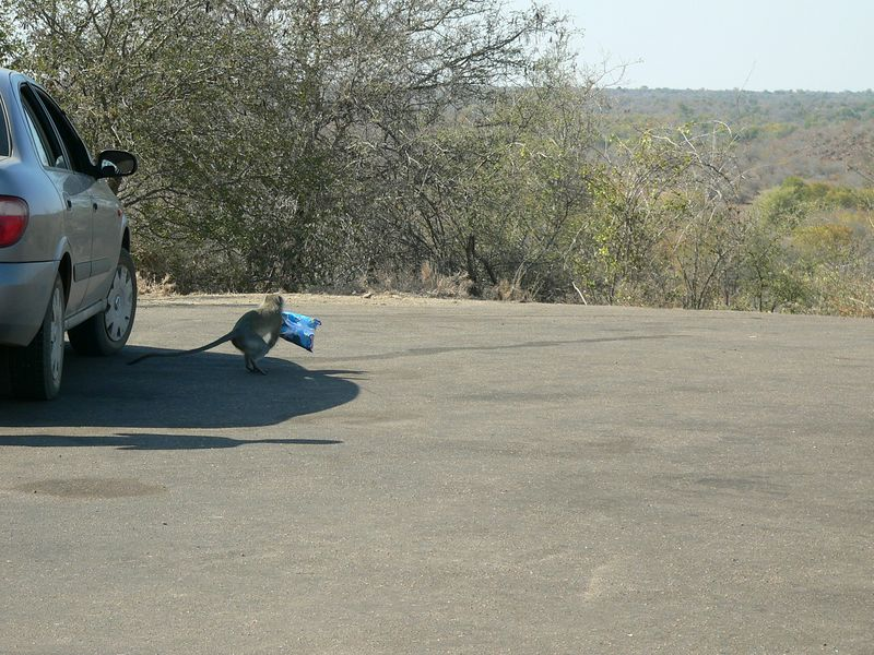 One of the vervet monkeys stealing chips from our car.