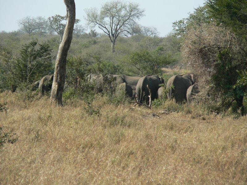 A herd of elephant rumps.