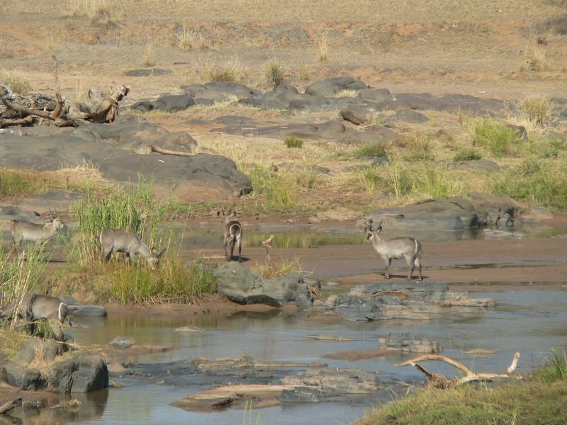 Waterbuck on the river.