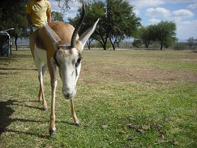 They had a pet springbok.