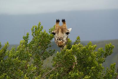 Giraffe (body not pictured).
