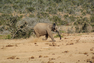 This little elephant spent the morning chasing away warthogs.