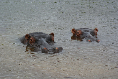 Hippos at Plettenberg.